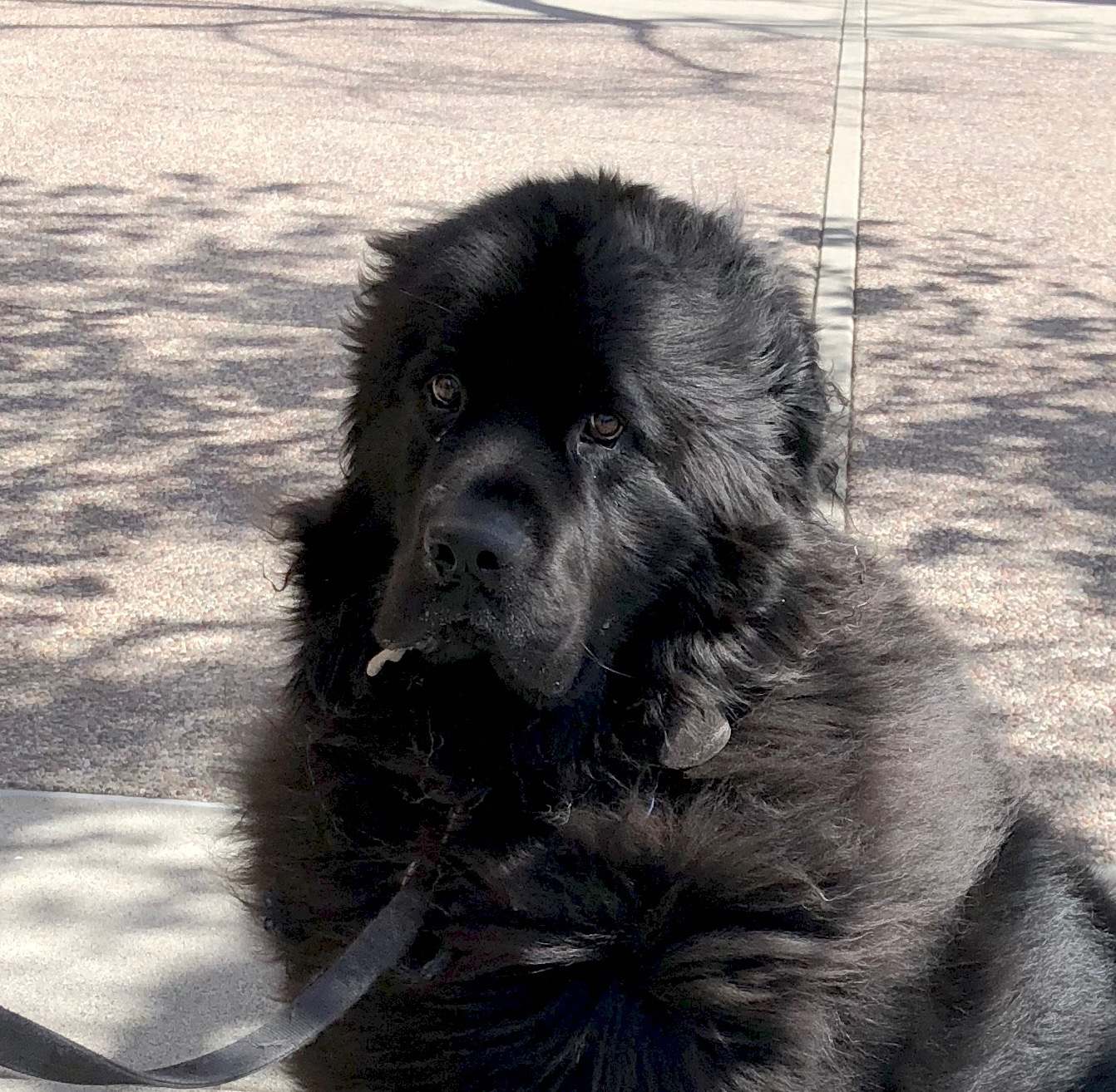 Black Newfie Looking Disgruntled With Drool Hanging Off Of His Lip