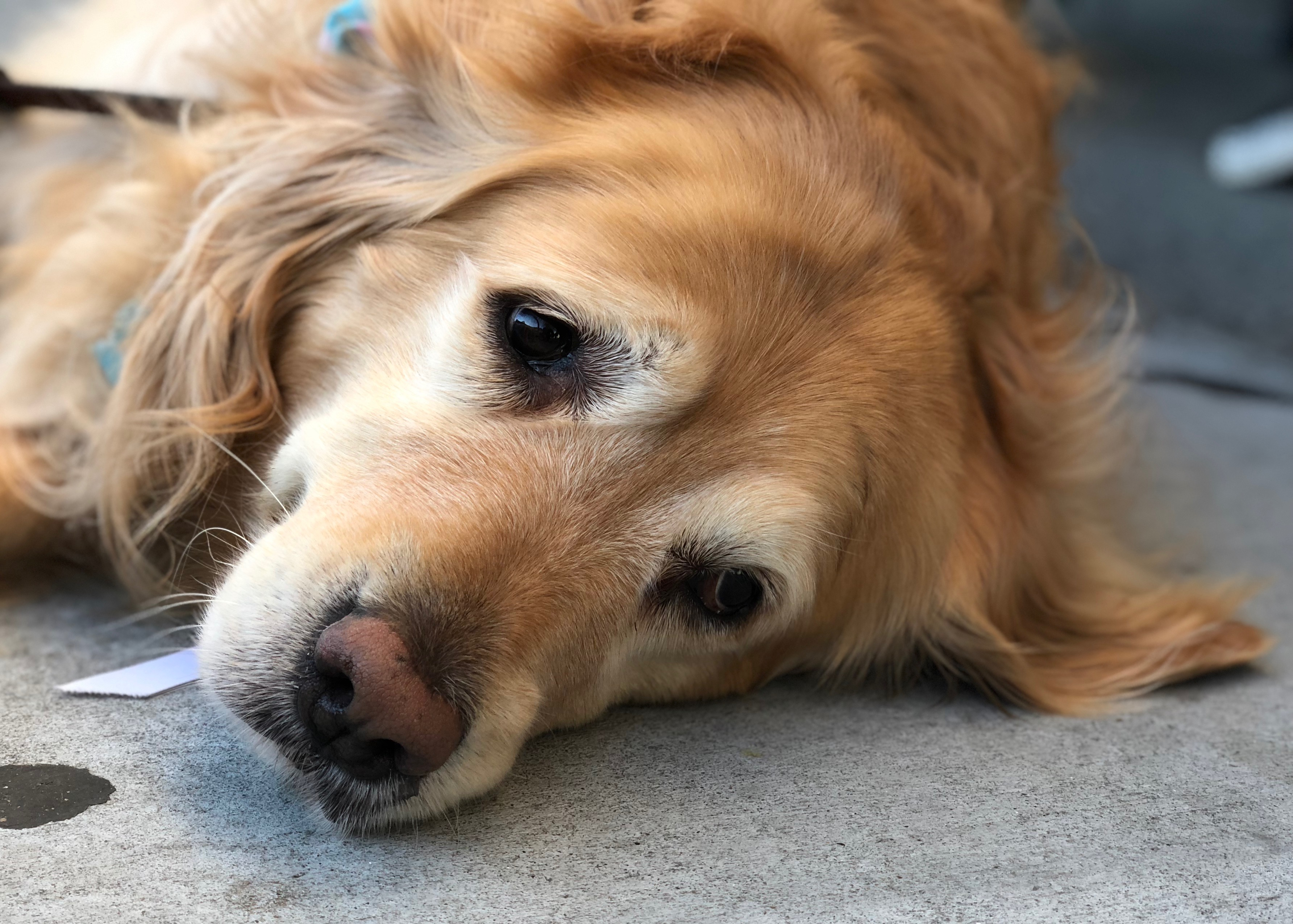 Golden Retriever Lying On The Ground Looking Extremely Sad