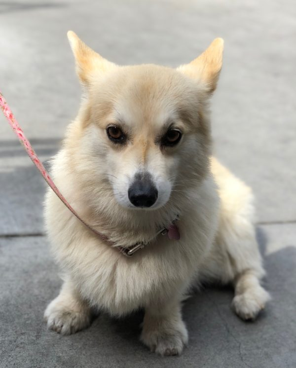 Very Light Colored Tan And White Pembroke Welsh Corgi