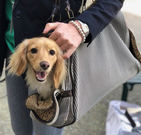 Tan Long-Haired Dachshund In A Shoulder Bag