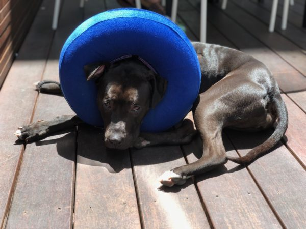 Black Pit Bull With A Blue Inflatable Donut Around Her Neck