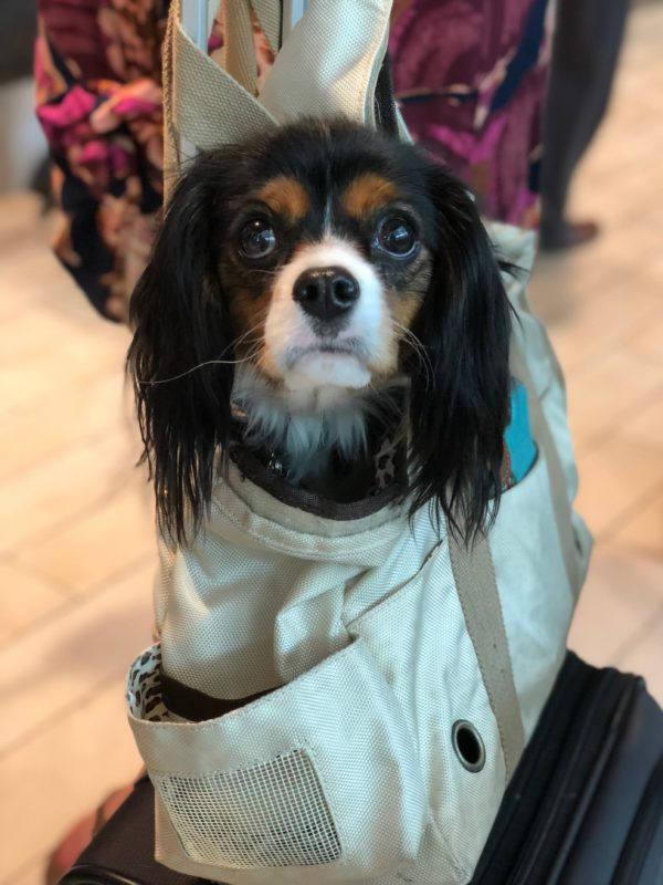 Cavalier King Charles Spaniel In A Duffel Bag