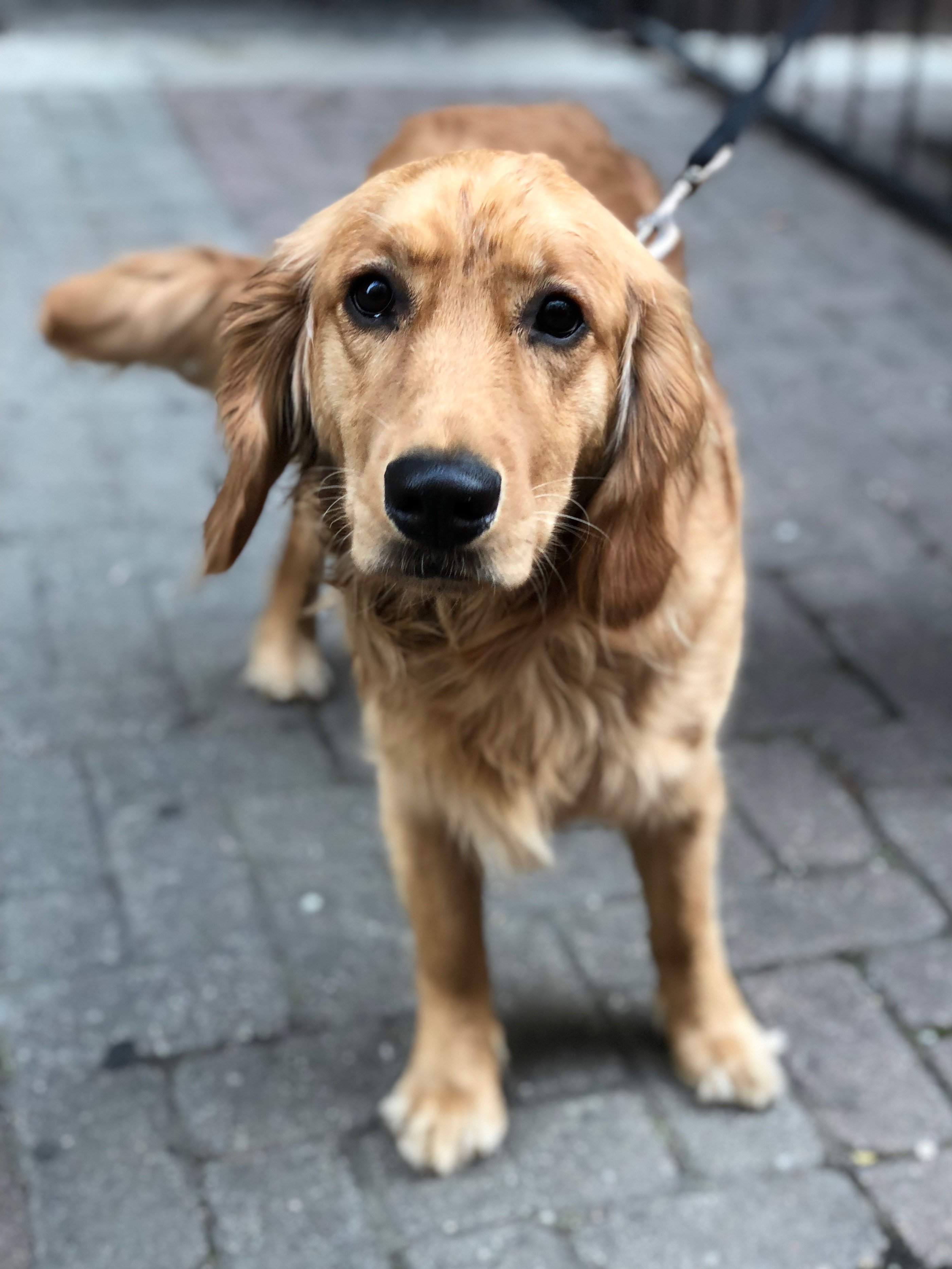Golden Retriever With Some Serious Puppydog Eyes Action