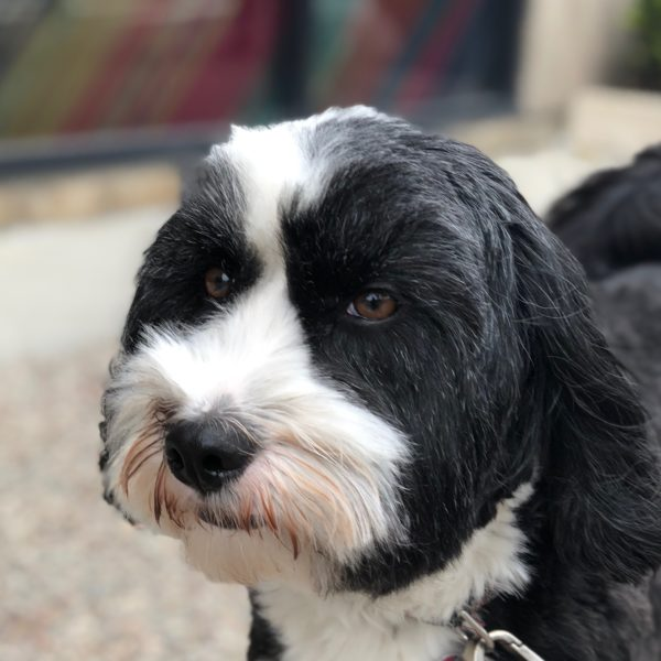 Tibetan Terrier With Short Haircut