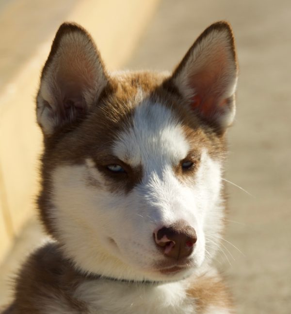 Red Siberian Husky Puppy