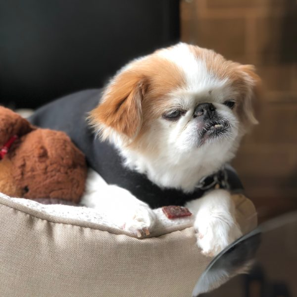Old Red And White Japanese Chin In A Dog Bed