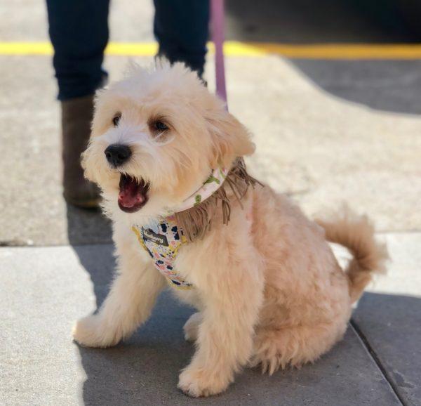 Miniature Goldendoodle Puppy Yawning