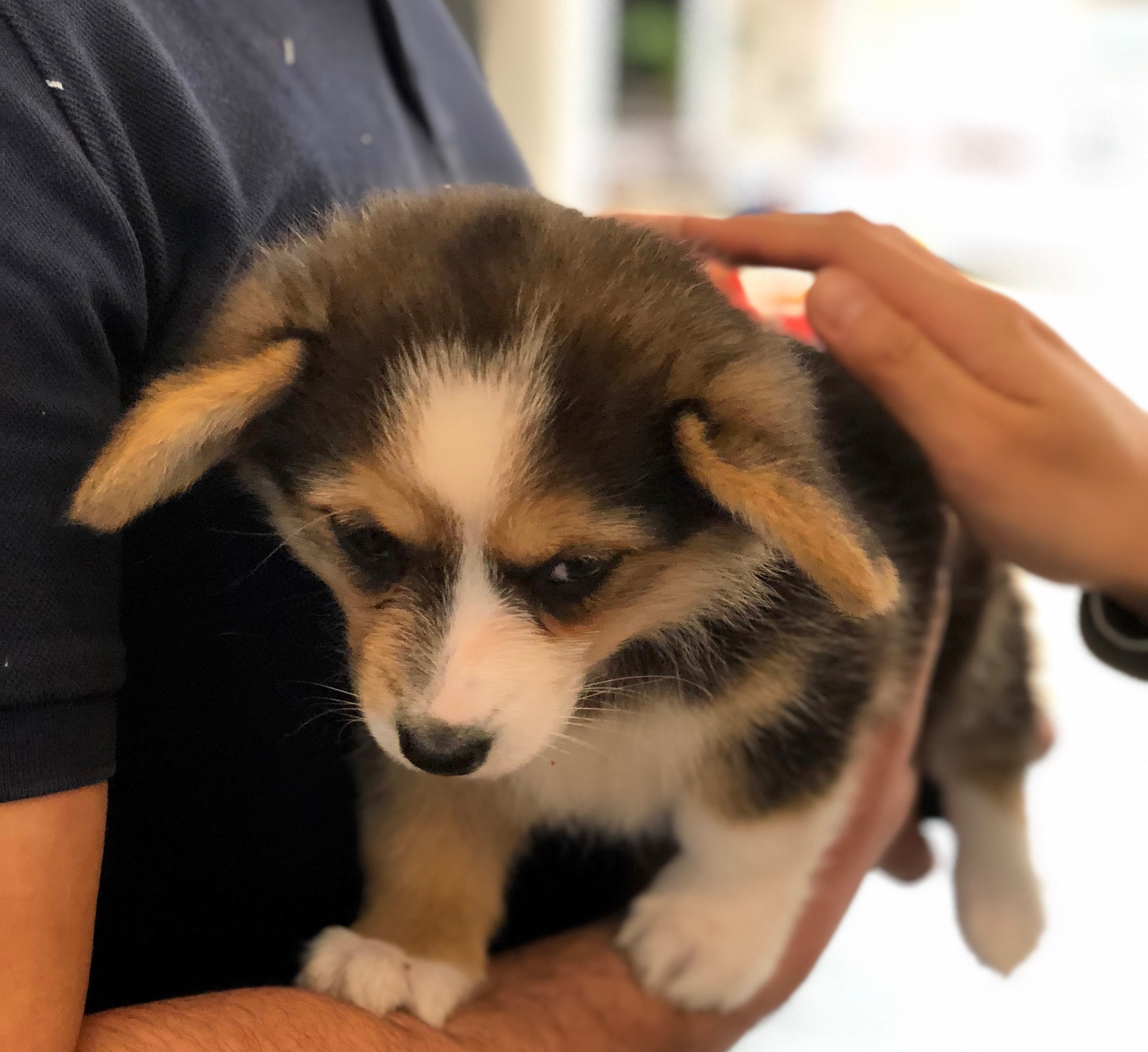 Sad Looking Tiny Corgi Puppy Being Held And Petted