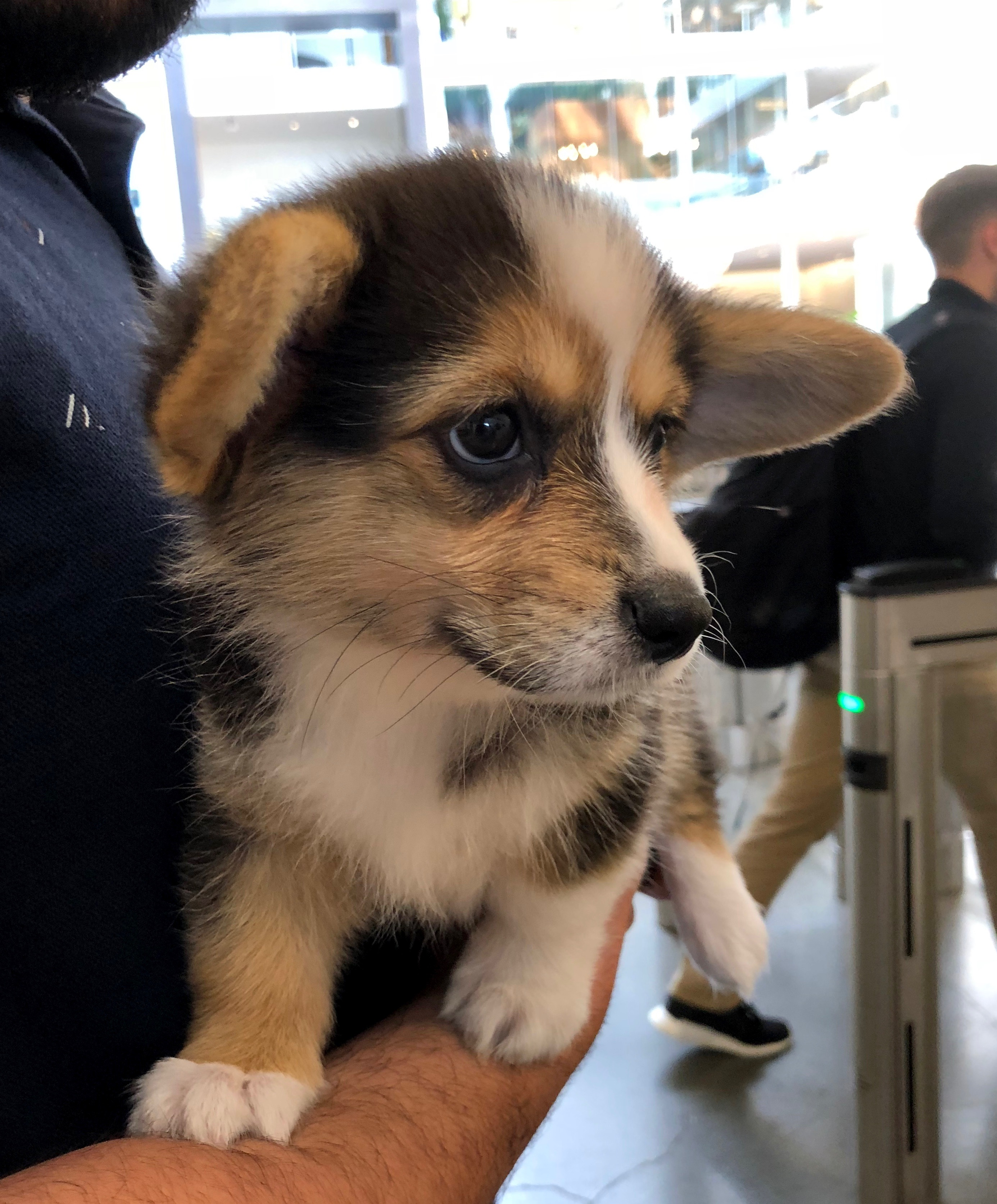 Ridiculously Adorable Pembroke Welsh Corgi Puppy In Man's Arms