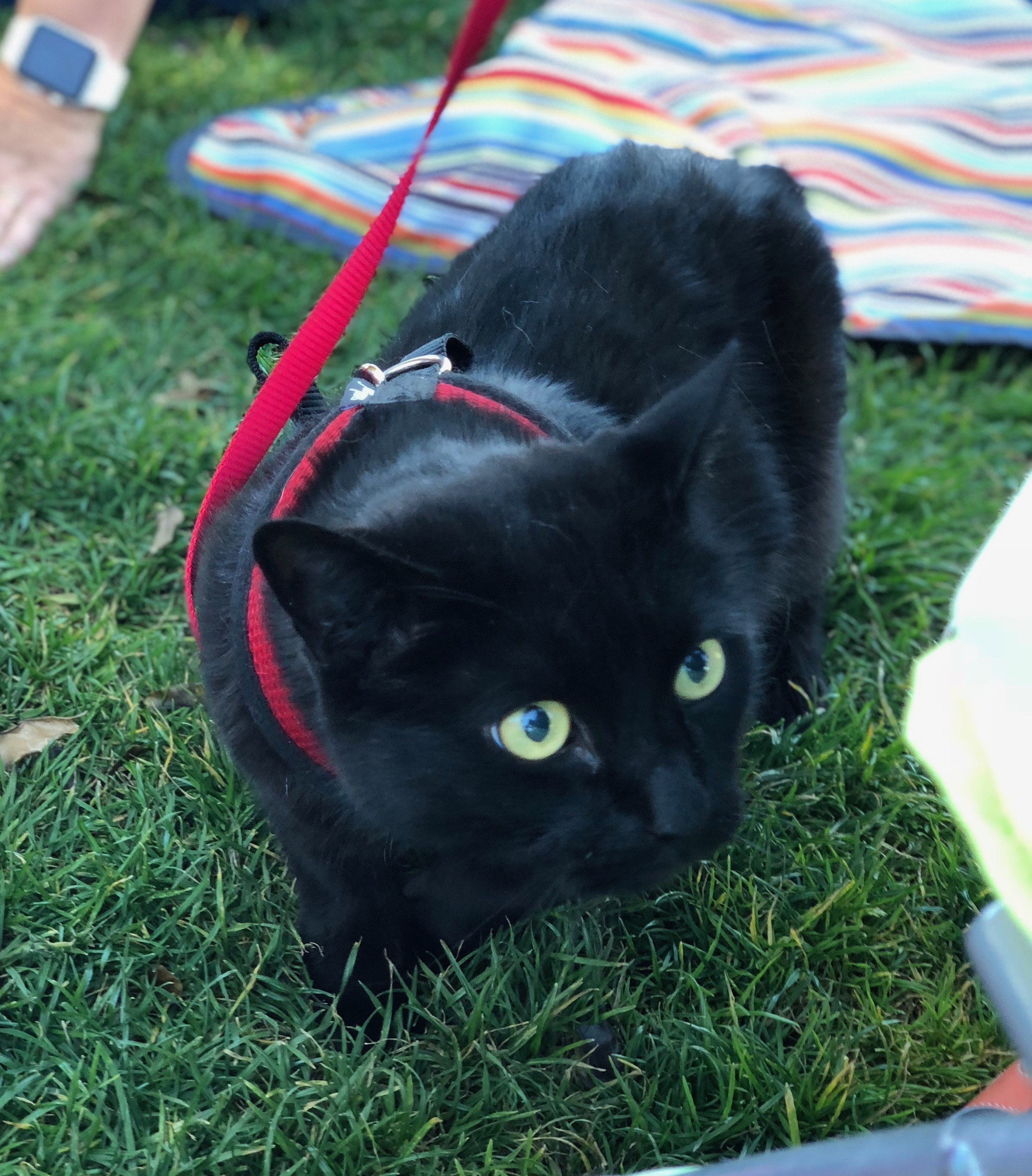 Black Cat With Really Big Luminous Gold Eyes