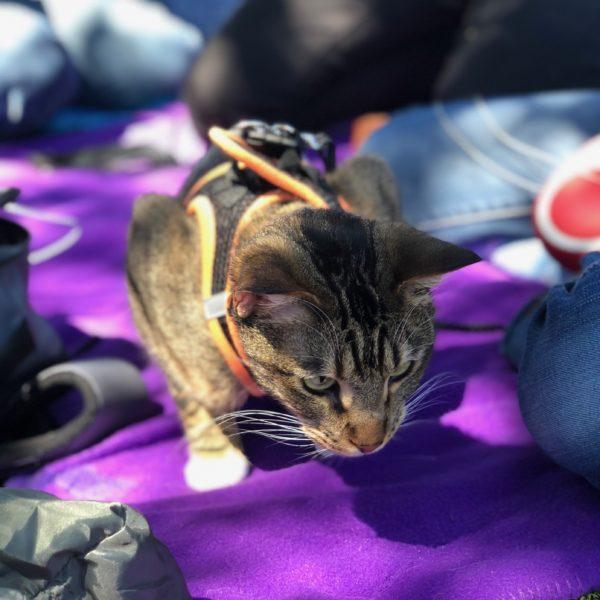 Pretty Tiger Tabby On A Purple Blanket