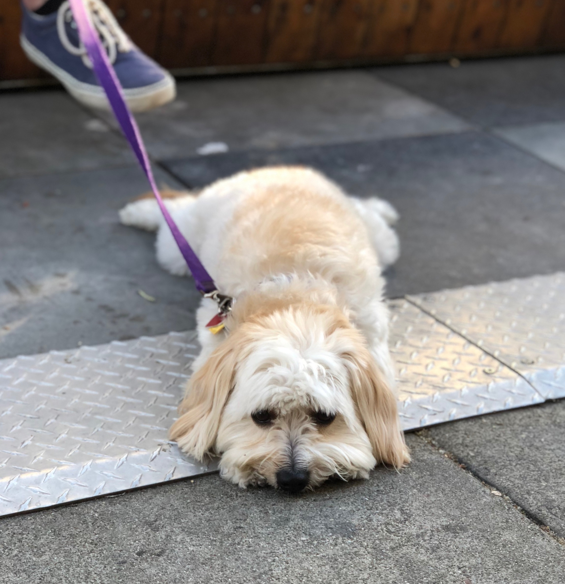 Exhausted Shih Tzu Lying Flat On The Ground