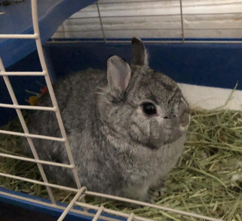 Cute Little Grey Dwarf Rabbit