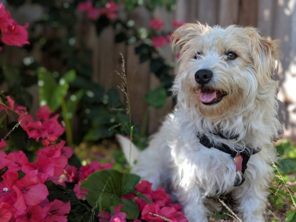 White And Tan Terrier Mix In Red Flowers