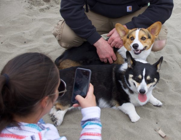 Woman Taking Picture Of Two Pembroke Welsh Corgis