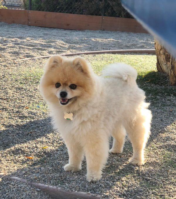 Fluff Blond Pomeranian Grinning