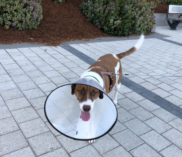Hound Mix Wearing Cone Of Shame