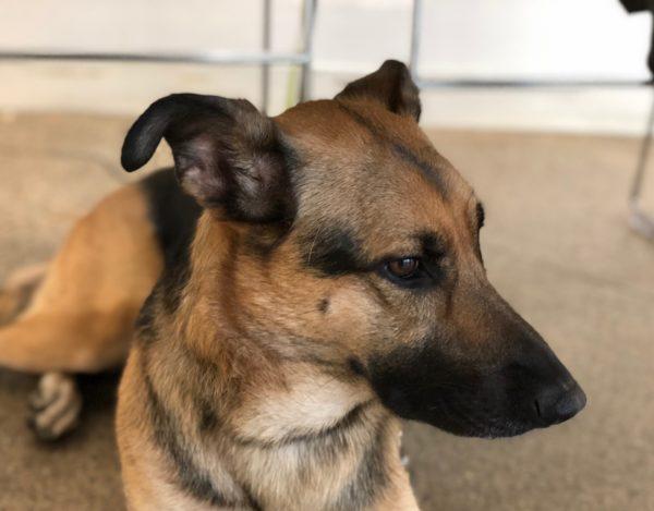 Portrait Of German Shepherd With Greyhound Ears