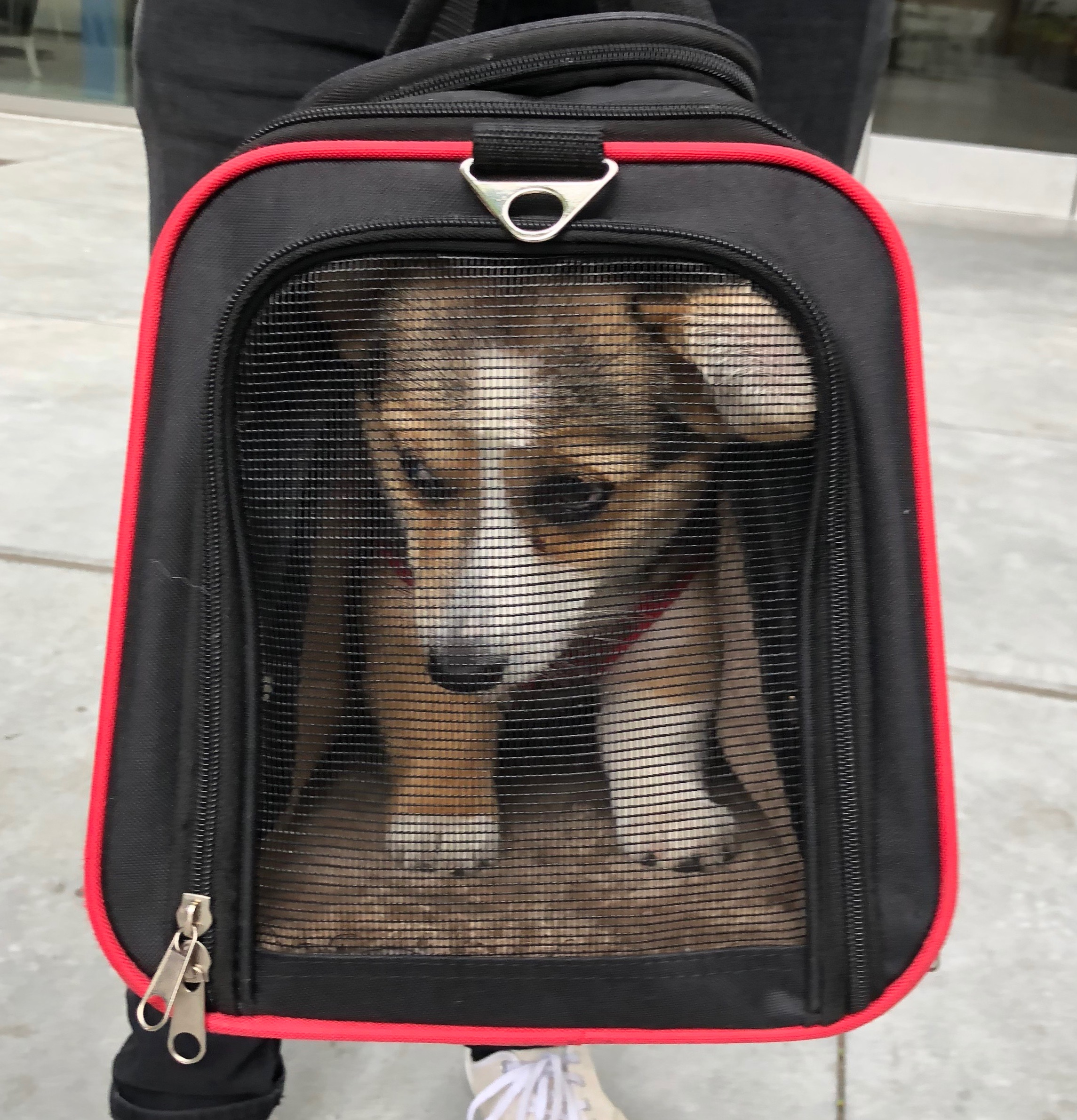 Pembroke Welsh Corgi In A Traveling Bag