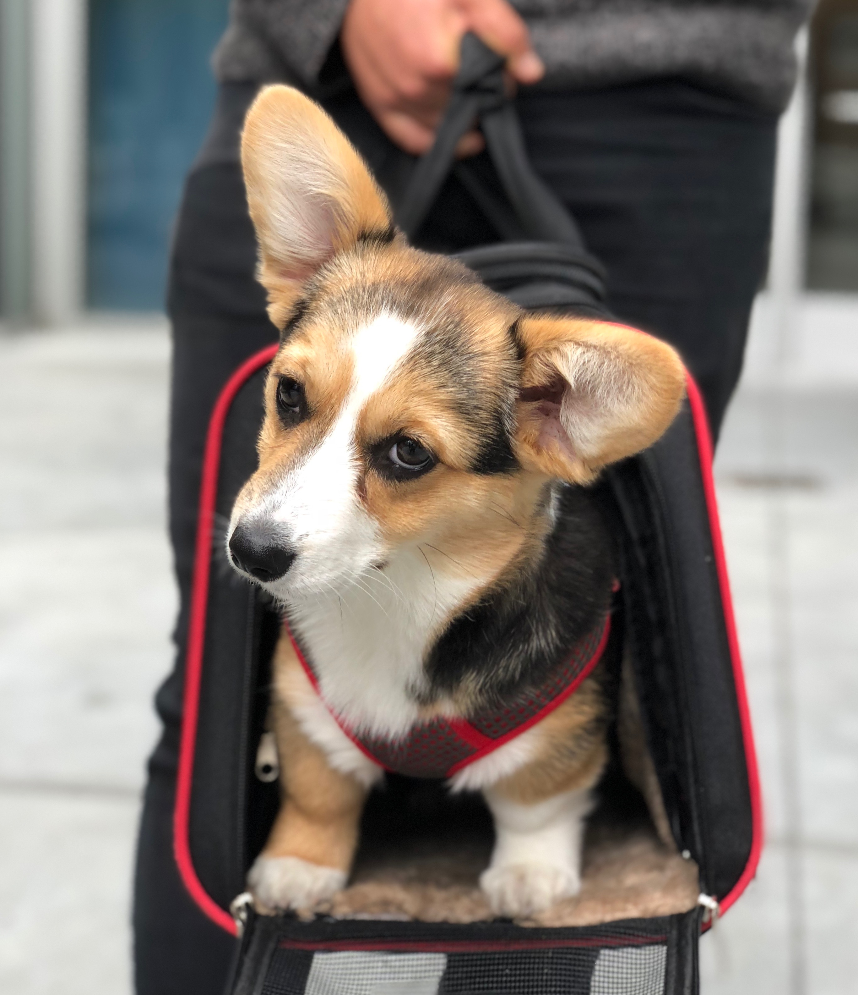 Pembroke Welsh Corgi Sticking Her Head Out Of A Traveling Bag