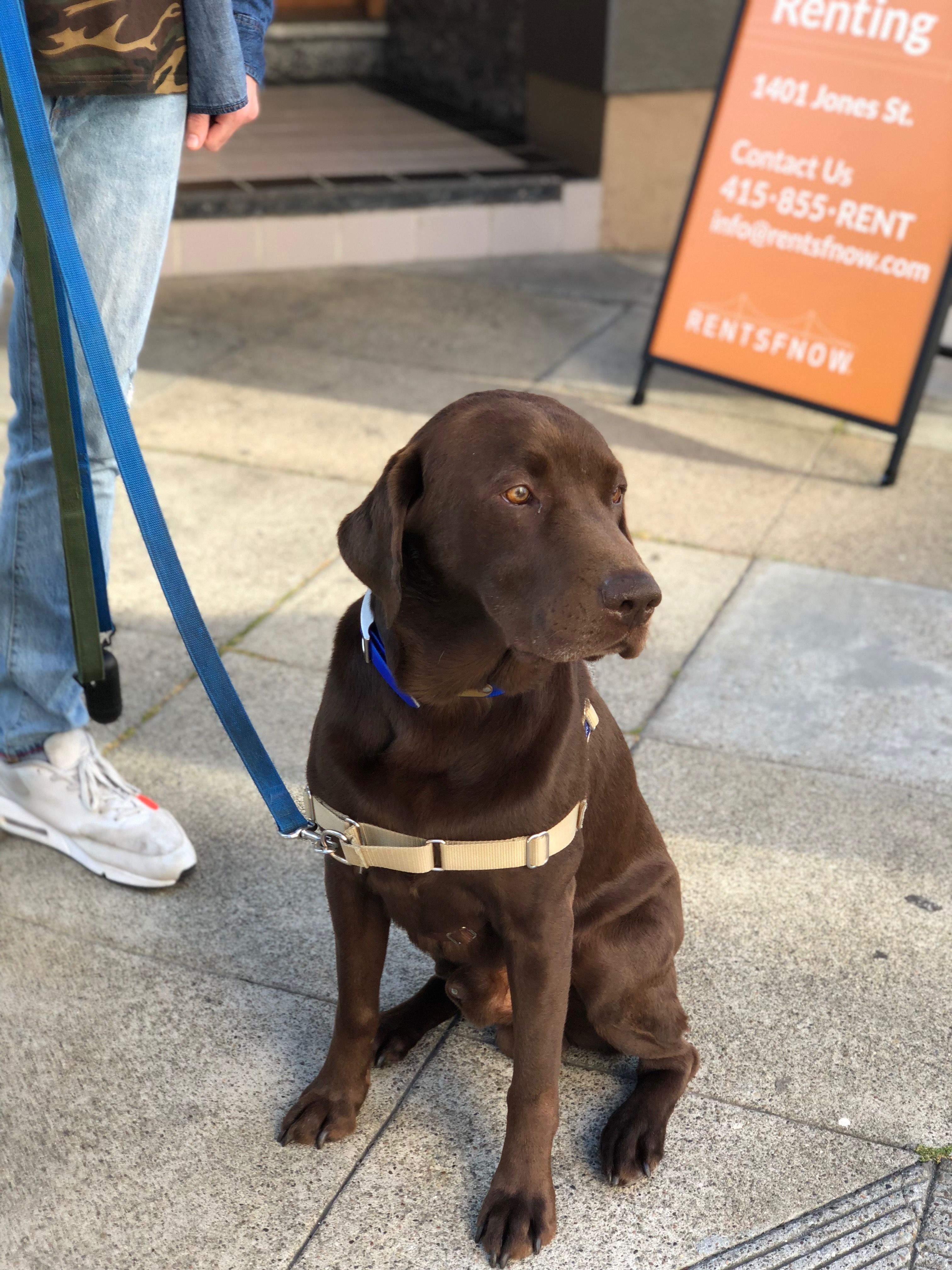 Chocolate Lab Looking Pensive