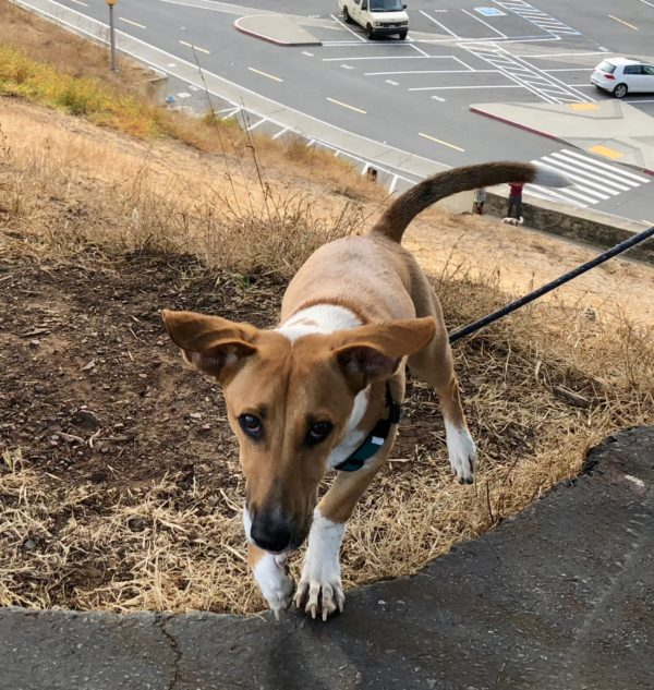 Ridiculous Half Basenji Half Basset With Ears That Stick Straight Out To The Side