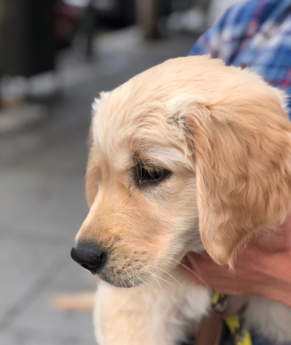 12-Week-Old Golden Retriever Puppy Looking Sad