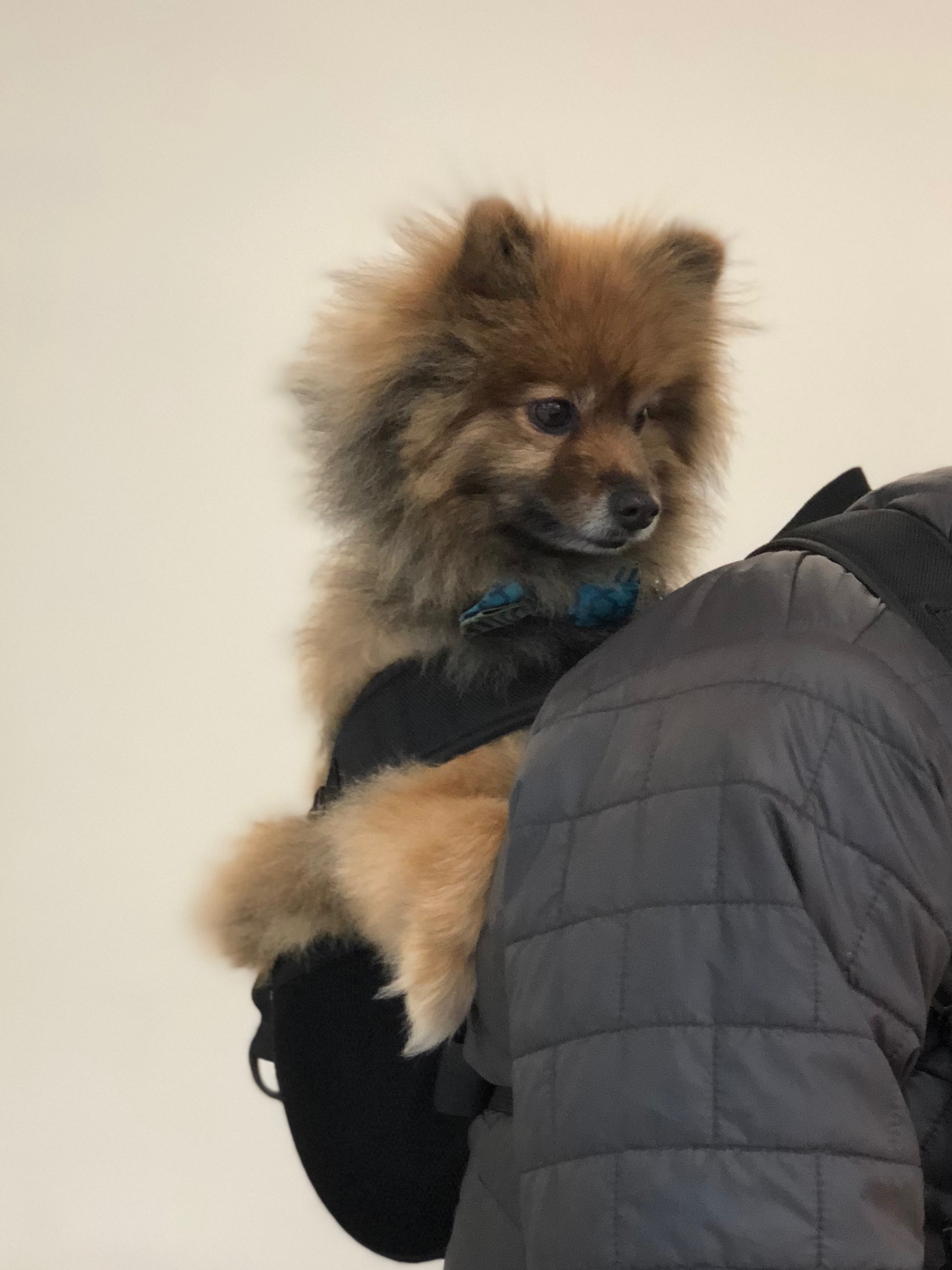Pomeranian In A Backpack