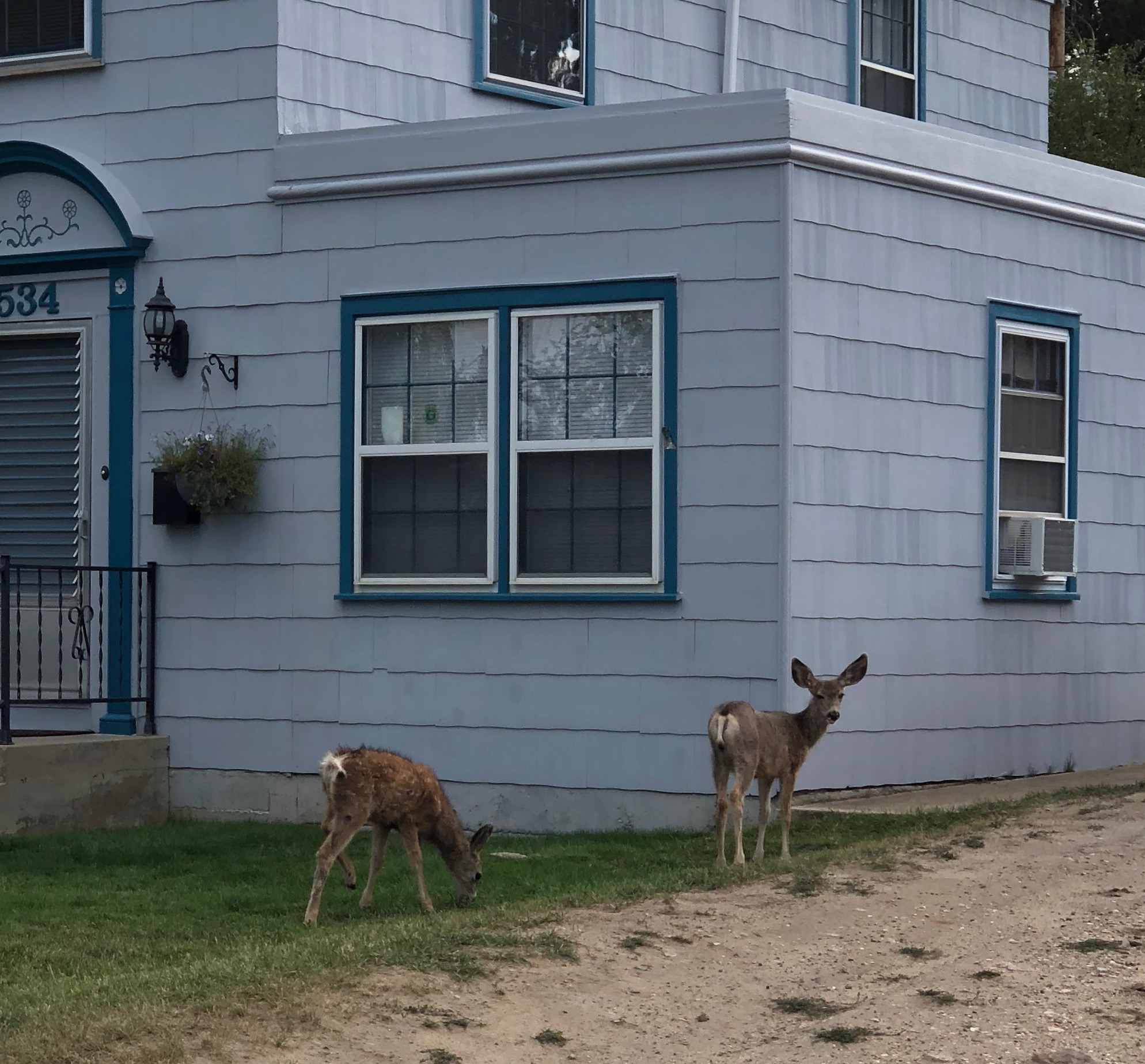 Two Fawns Eating Grass In Someone's Front Yard