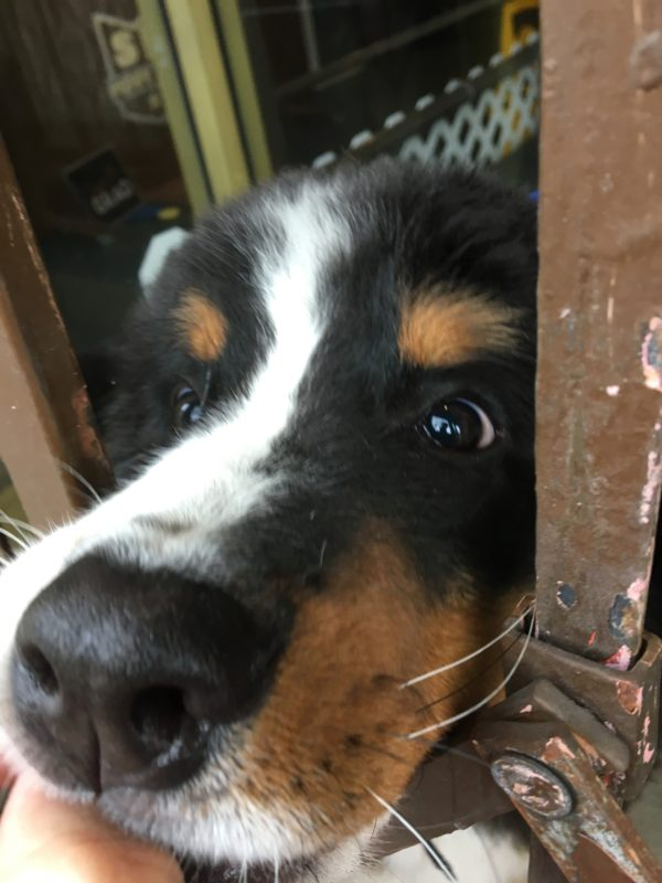 Bernese Mountain Puppy Nose