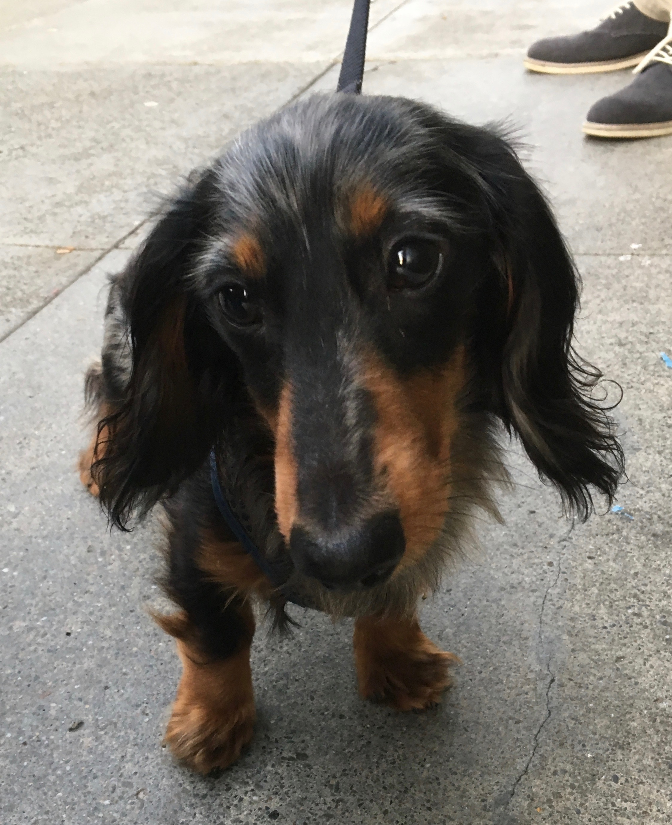 Dapple Dachshund Looking Sad