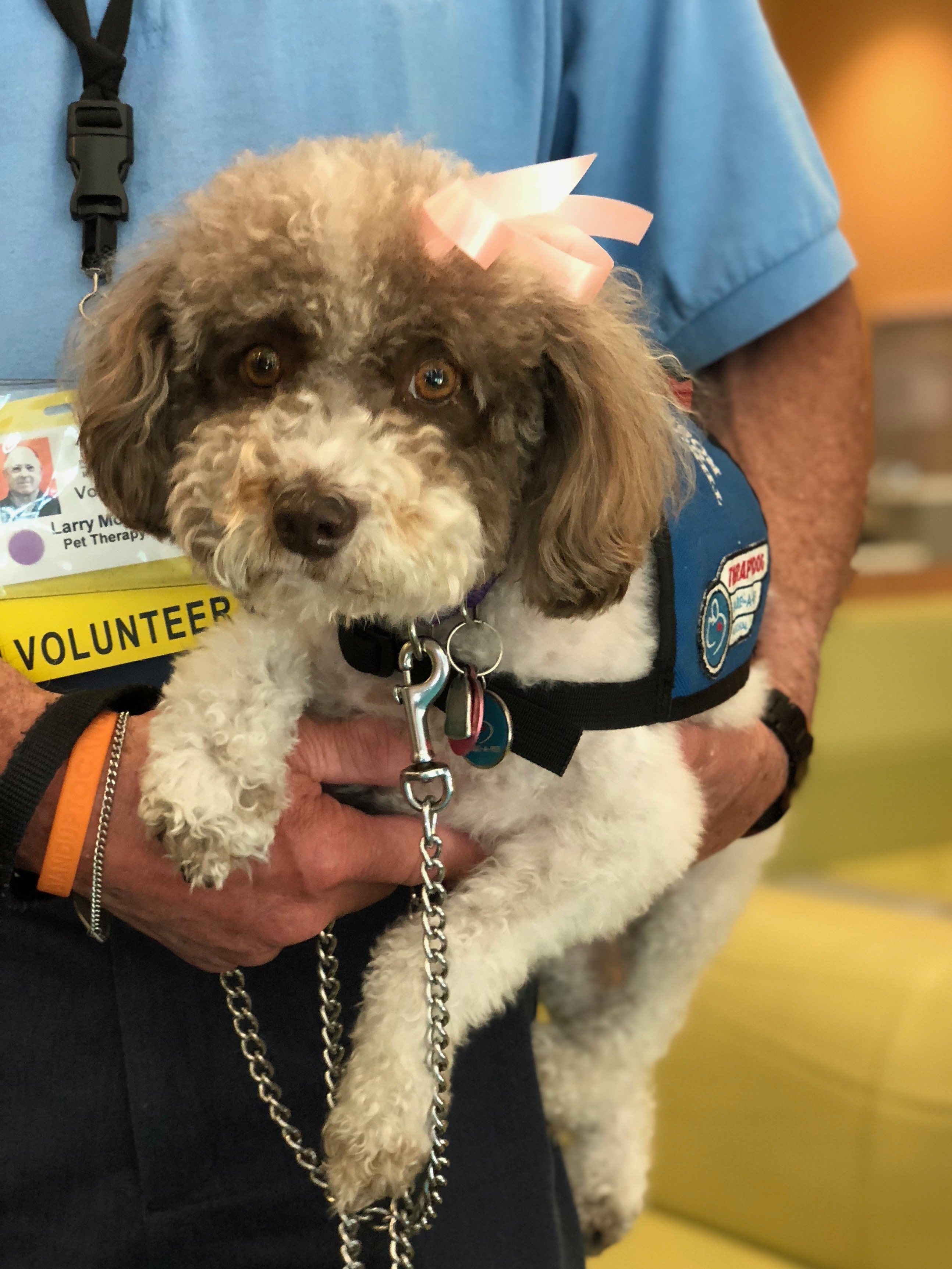 Schnauzer Poodle Mix Therapy Dog Being Held By Man