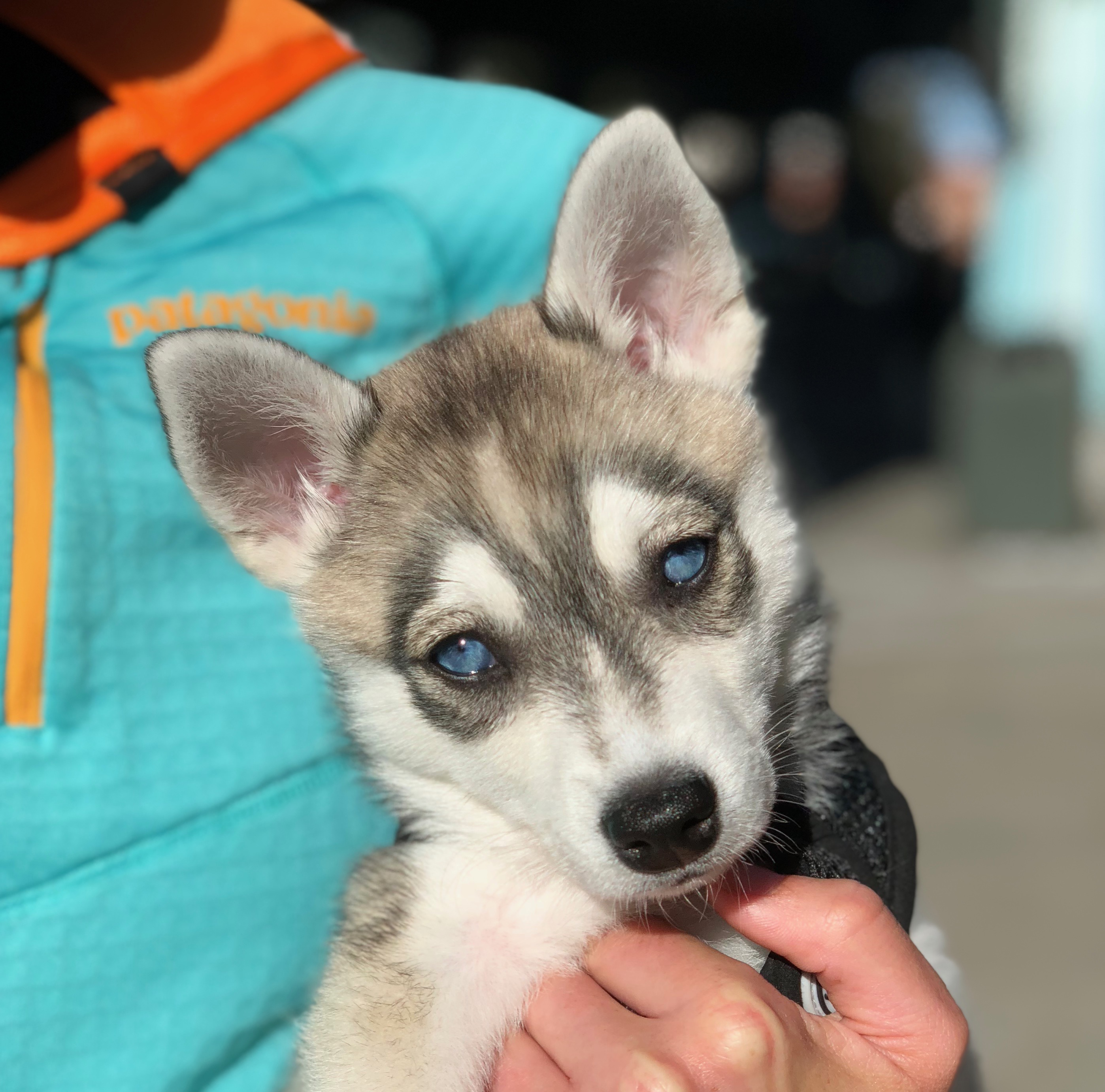 Woman Holding Klee Kai Puppy With Startlingly Blue Eyes