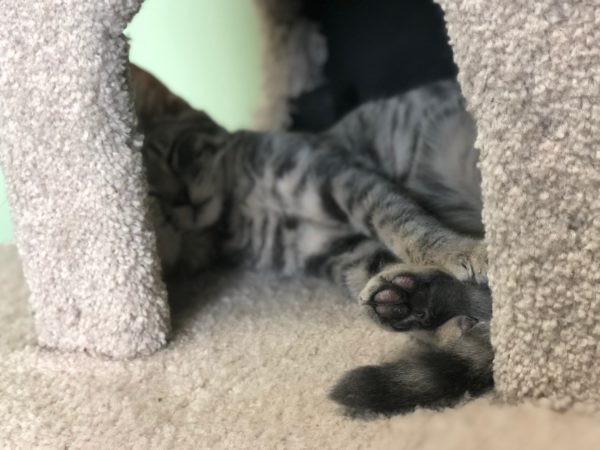 Kitten Sleeping In Cat Tree