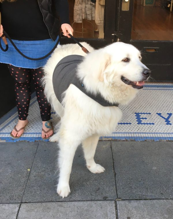 Great Pyrenees In A Grey Sweatshirt