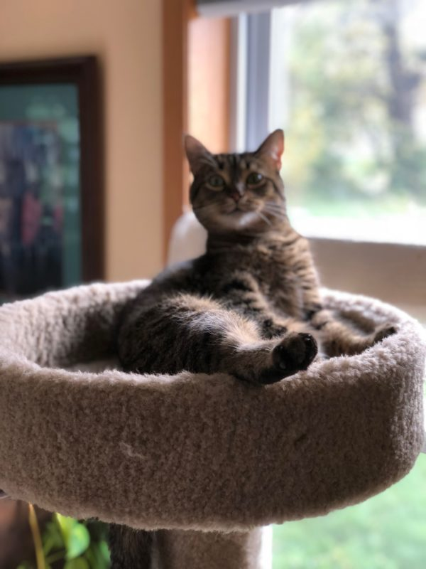 Goofy-Looking Tiger Tabby Cat