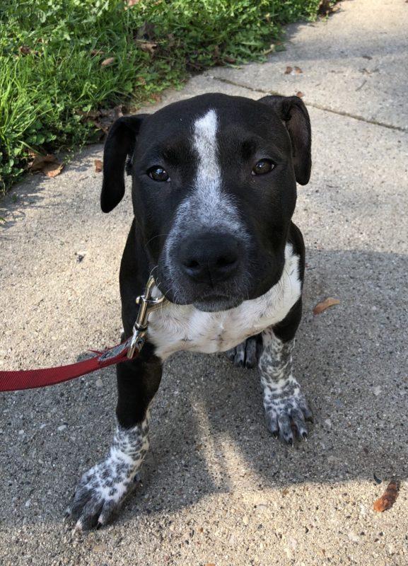 Bluenose Pit Bull Terrier/Bullmastiff Mix Puppy