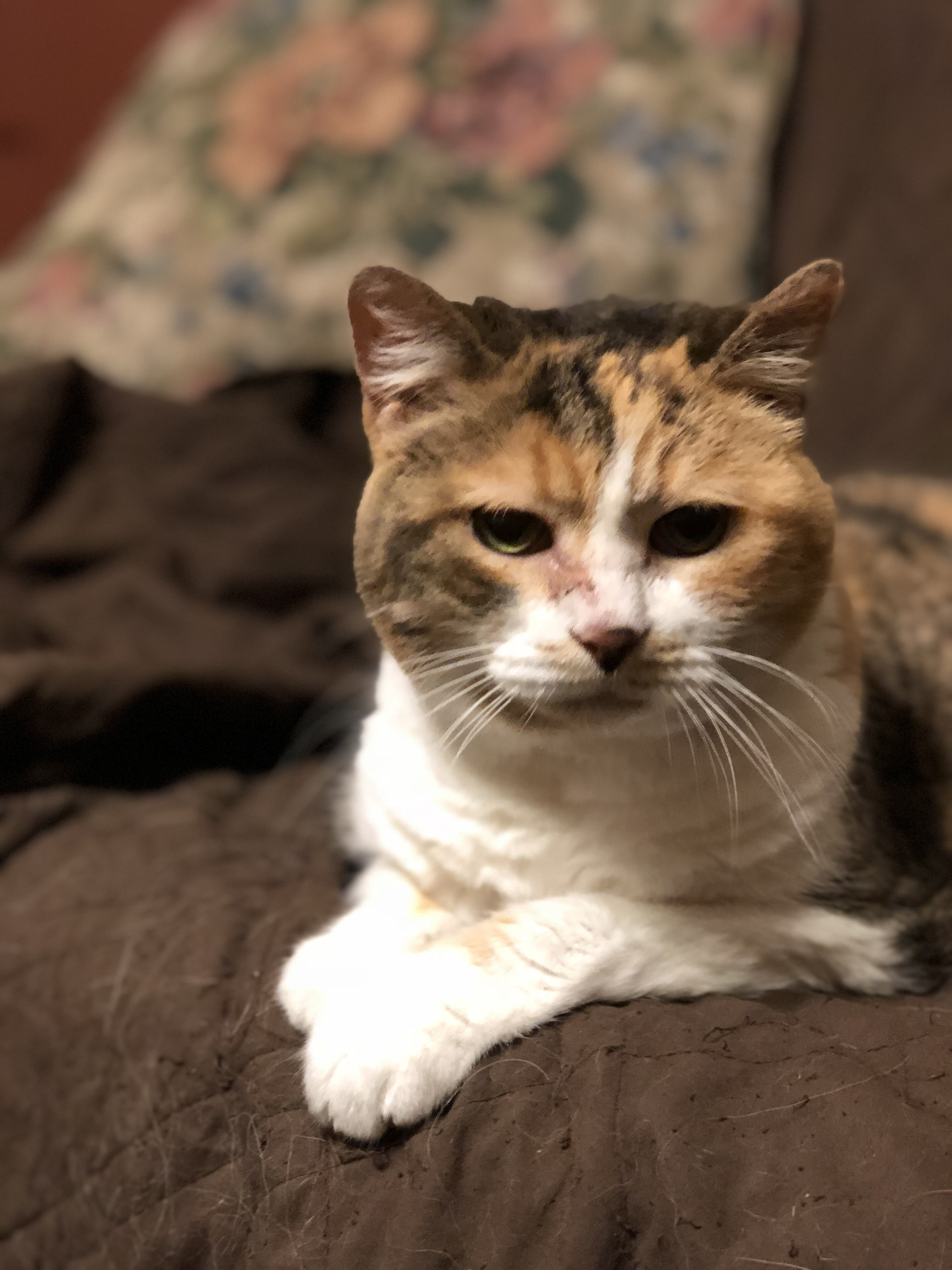 Calico Cat Looking Thoughtful
