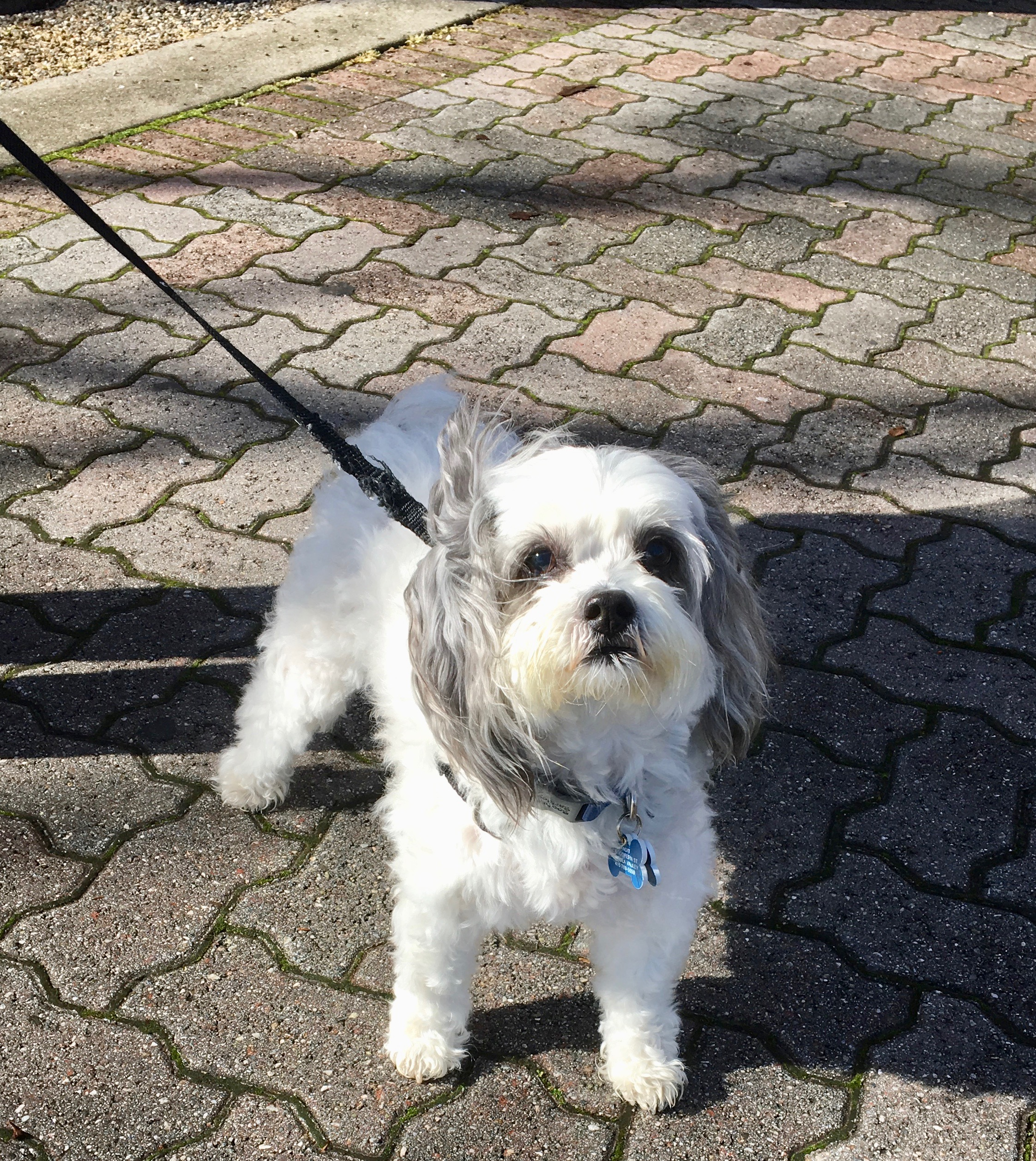 Maltese Poodle Mix, White With Grey Ears