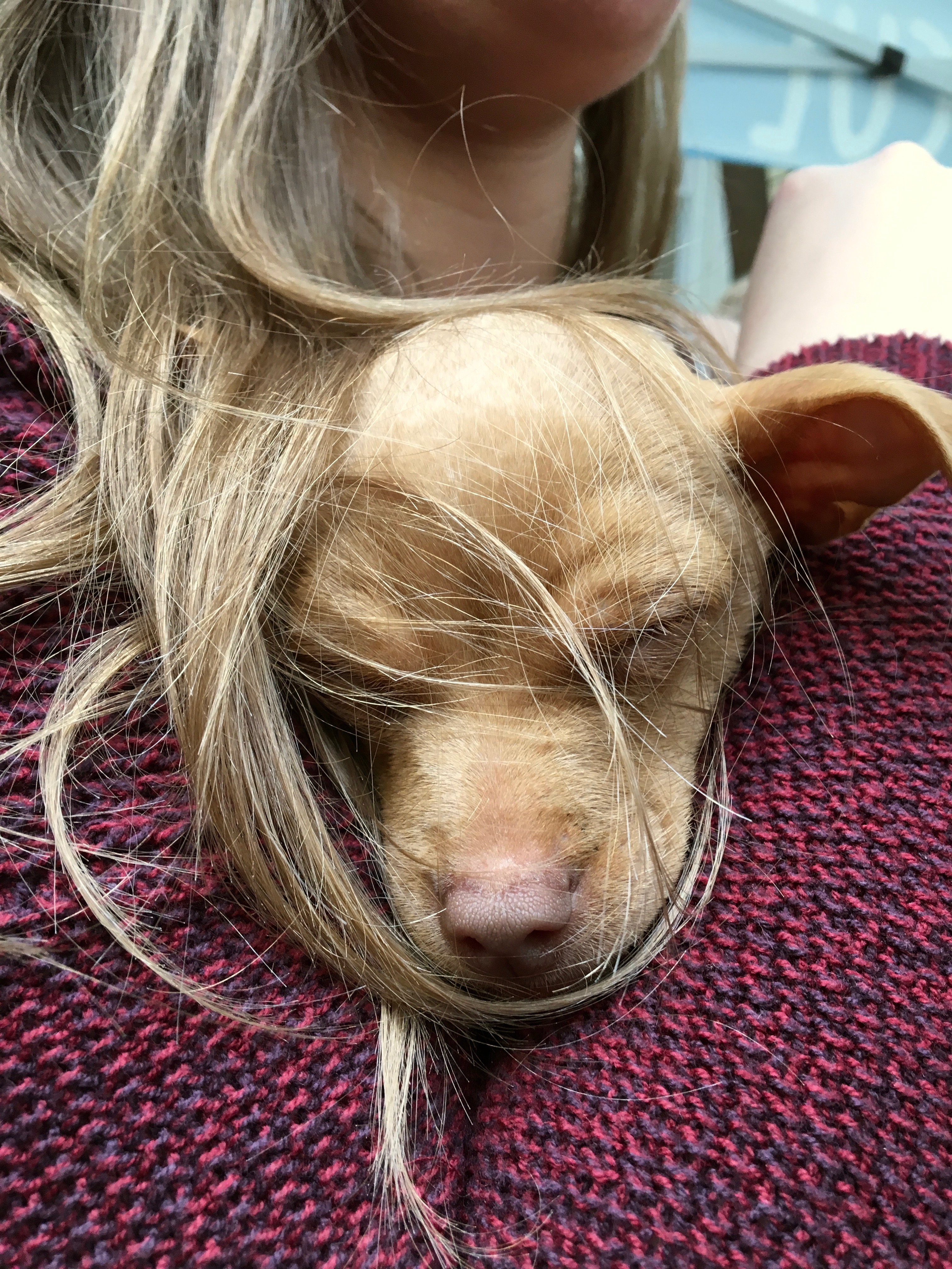 Chihuahua Puppy Sleeping On Woman's Shoulder