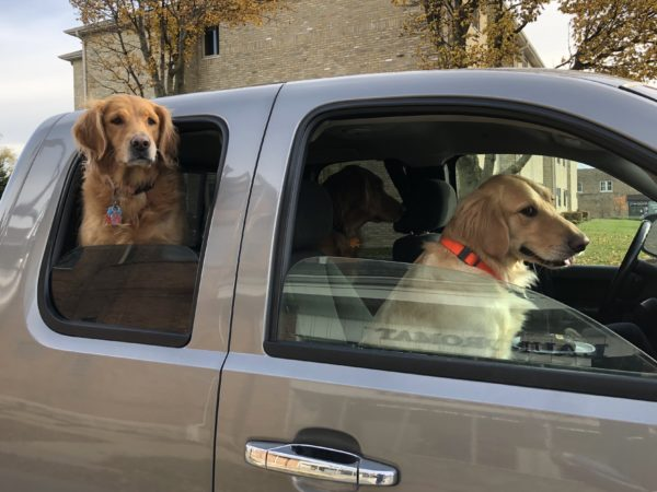 Three Golden Retrievers In The Cab Of A Pickup Truck
