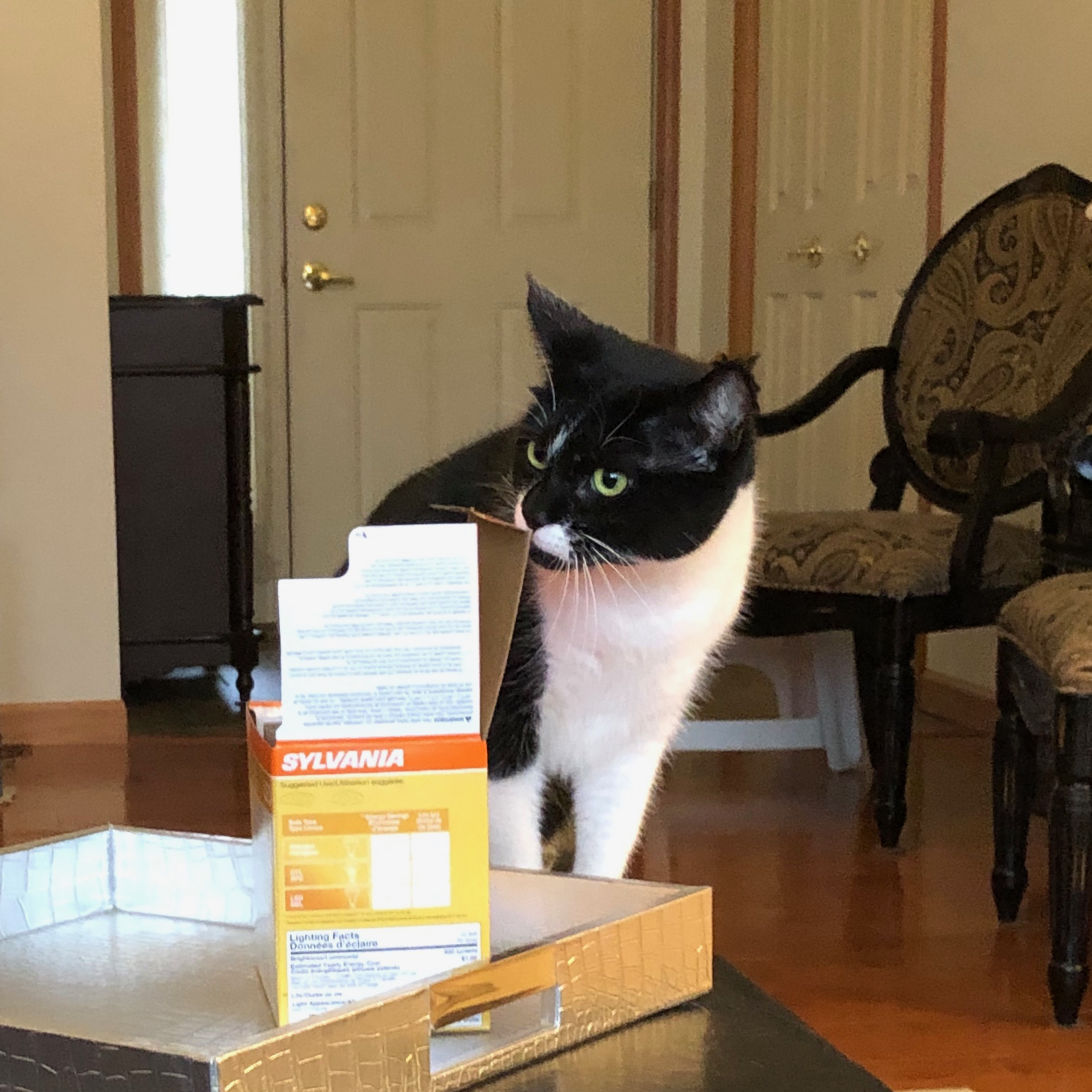 Tuxedo Cat Sniffing At A Box