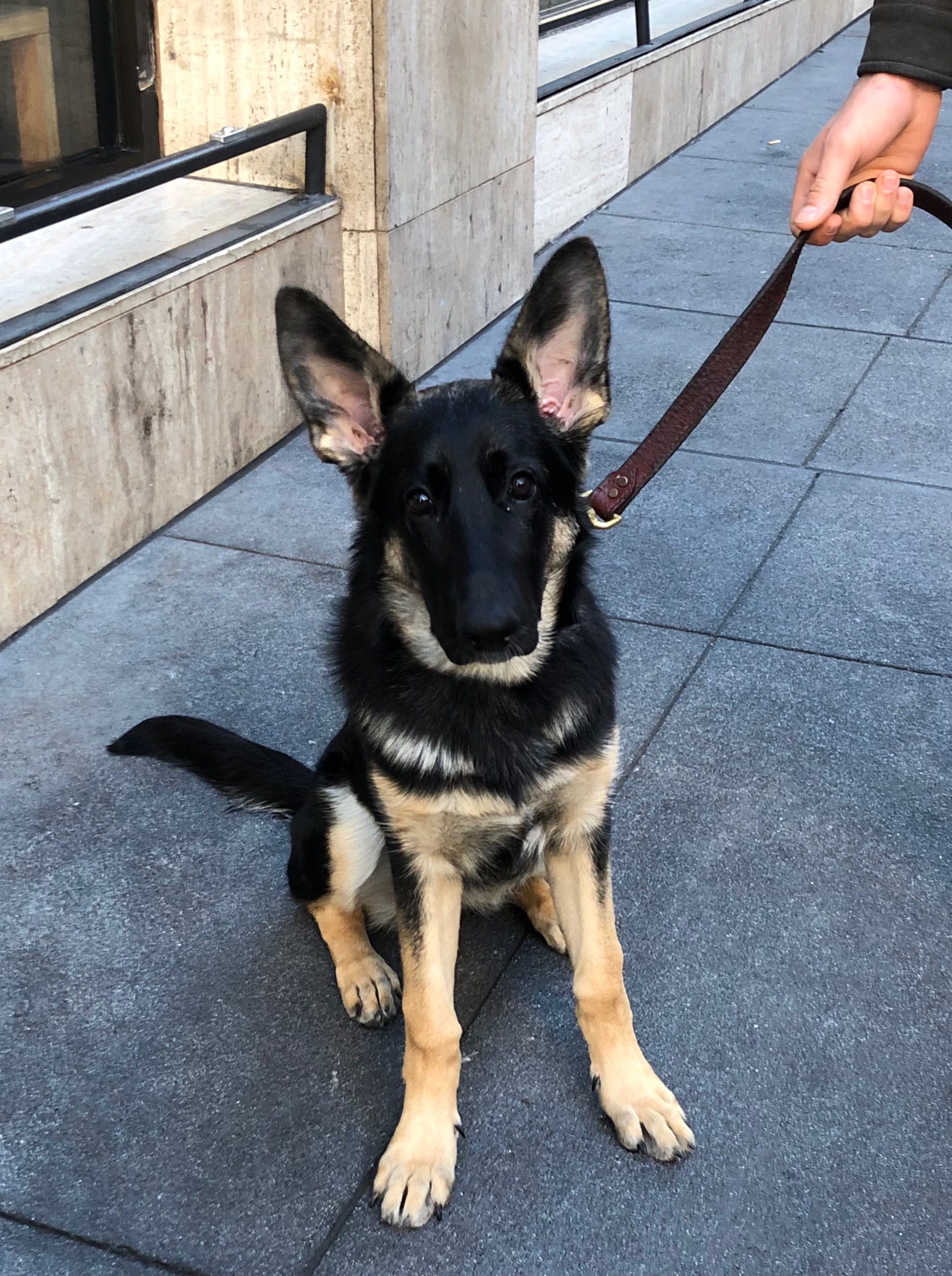 German Shepherd Puppy With Gigantic Ears And A Black Face