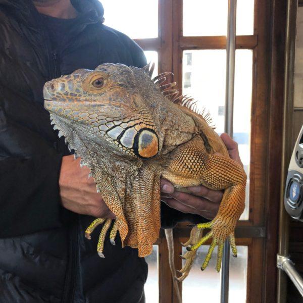 Very Large Iguana