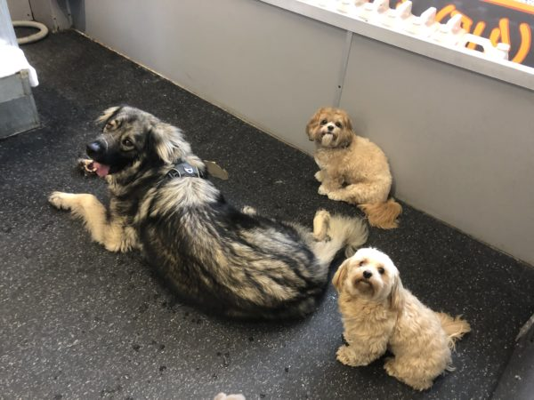 Caucasian Ovcharka And Two Small Dogs