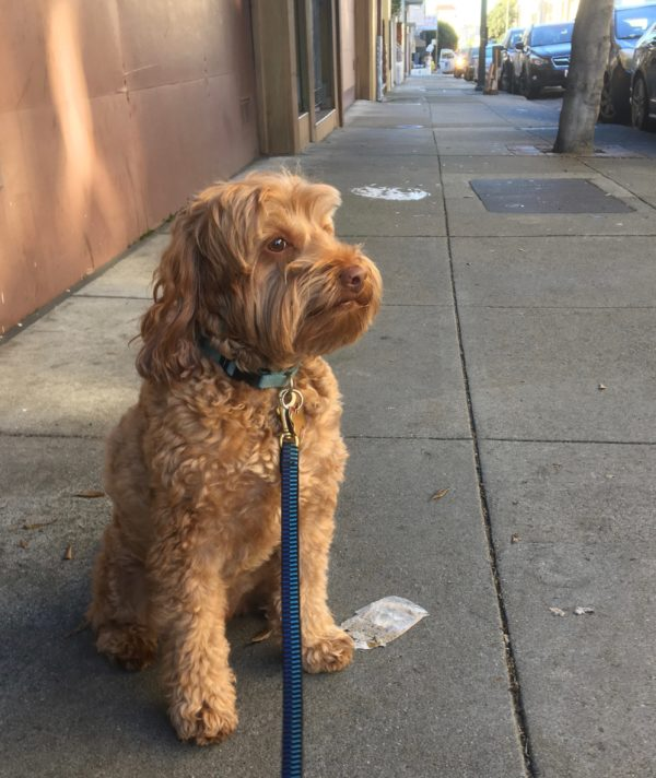 Goldendoodle Looking Pensive