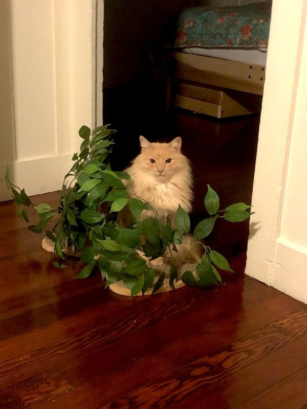 Norwegian Forest Cat Hiding In Artificial Shrub