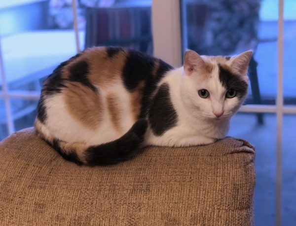 Calico Cat Sitting On The Back Of A Chair