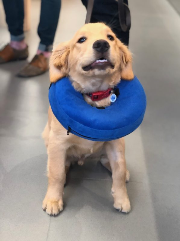 Golden Retriever In Inflatable Neck Pillow