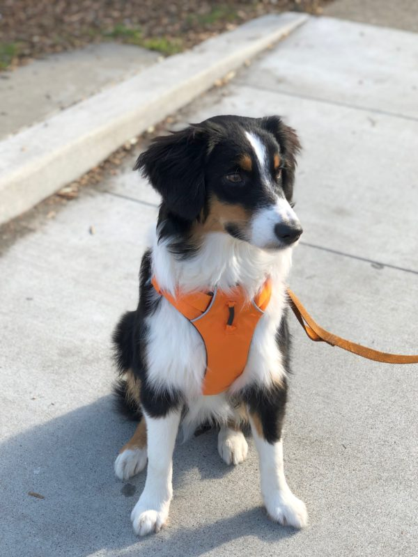 Tricolor Australian Shepherd In Orange Halter